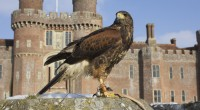 A wonderful opportunity to walk through the amazing grounds of Herstmonceux Castle with our Harris Hawks as they search for prey. Walk with these amazing raptors through the woods and experience them flying to your fist from the trees.