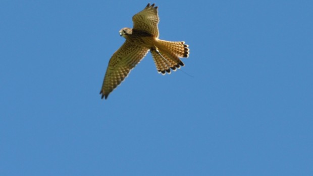 Come and fly Milly our Kestrel, marvel as she hovers and then stoops to you gloved hand. Milly forms part […]