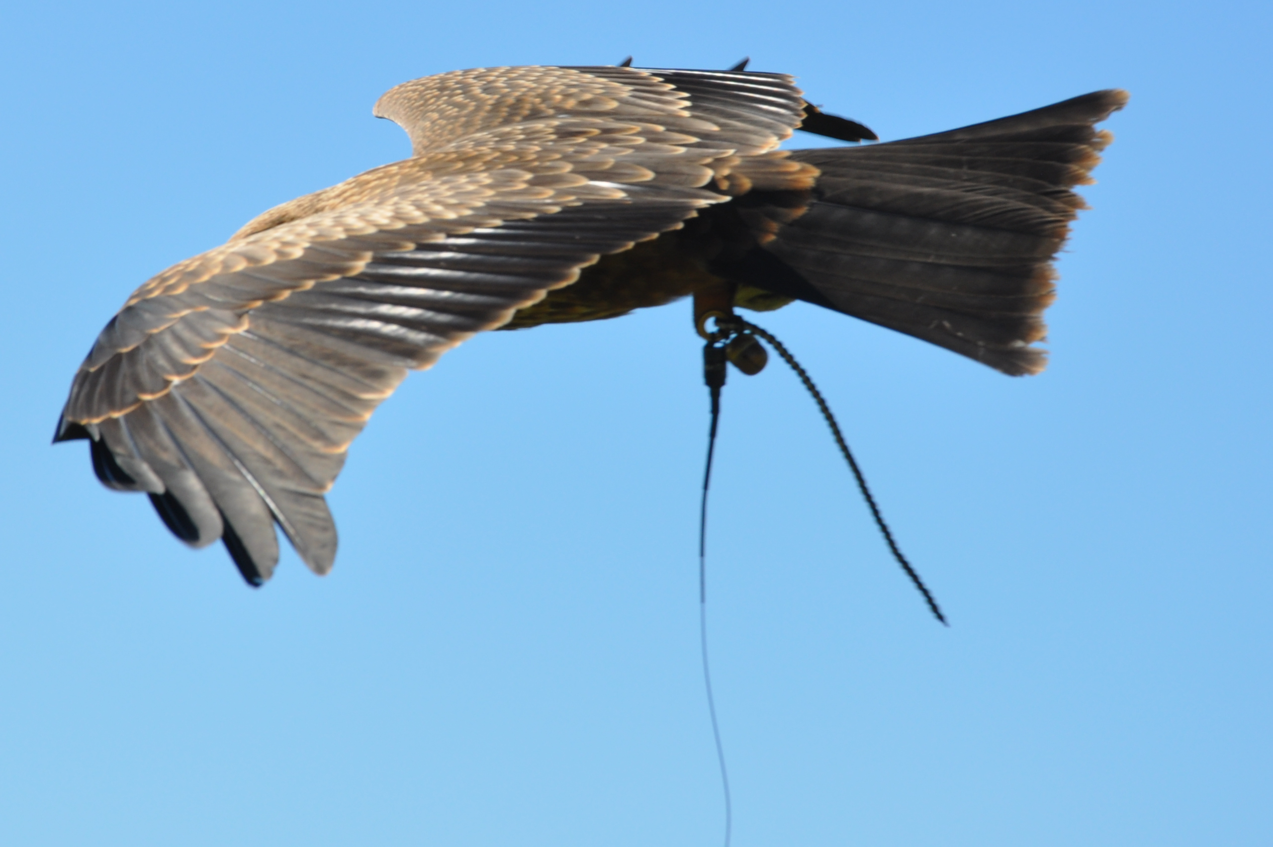 fly birds of prey sussex