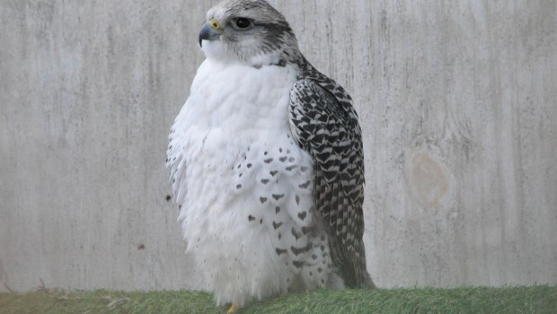 Gyrfalons are the largest of all falcons. Gyrfalcon is pronounced as JER-falcon. Enjoy this pic of our male gyr.