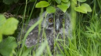Our new edition to the team a four week old long eared owl, bless