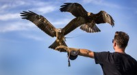 These experiences are running 7 days a week. You will get to fly/handle Owls, Hawks, Falcons and Kites. These raptors […]